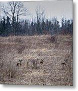 Bedded Whitetail Deer Metal Print