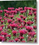 Bee Balm Bounty Metal Print