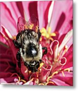 Bee Close Up On Pinkish Red Flower Metal Print