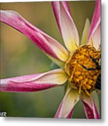Bee Enjoying A Willie Willie Dahlia Metal Print