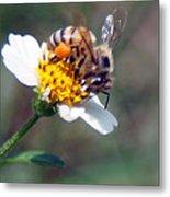 Bee- Extracting Nectar Metal Print