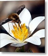 Bee Fly And Bloodroot Metal Print
