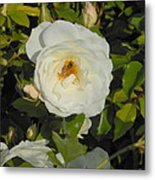 Bee In A White Rose Metal Print by Kay Gilley
