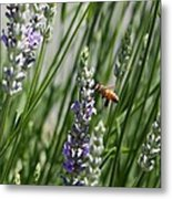 Bee In Lavender Metal Print