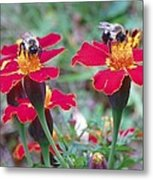 Bees On A Marigold 4 Metal Print