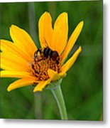 Bee On A Smooth Oxeye Metal Print