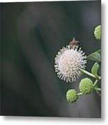 Bee On Buttonbush Metal Print
