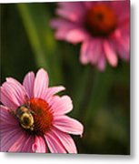 Bee On Coneflower Metal Print