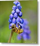 Bee On Grape Hyacinth Metal Print