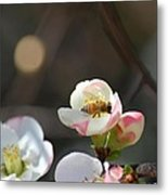 Bee On Japanese Quince Metal Print