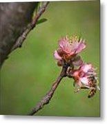 Bee On Peach Bloom Metal Print
