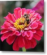 Bee On Pink Flower Metal Print