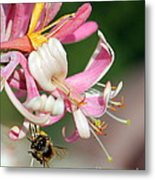 Bee On Pink Honeysuckle Metal Print