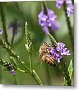 Bee On Purple Loosestrife  Metal Print