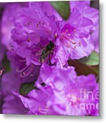 Bee On Rhododendrons Metal Print