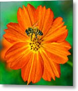 Bee On The Orange Cosmos 2 Metal Print