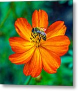 Bee On The Orange Cosmos Metal Print