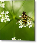 Bee On Top Of The Flower - Featured 3 Metal Print