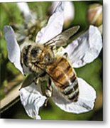 Bee Metal Print by Steven  Taylor
