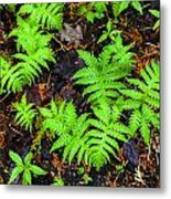 Beech Fern Colony Metal Print