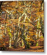 Beech Tree Group In Autumn Light Metal Print