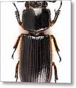 Beetle Aceraius Grandis Metal Print