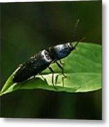 Beetle Elateridae Metal Print