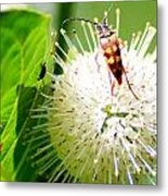Beetle On Buttonbush Metal Print