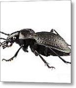 Beetle Species Carabus Coriaceus Metal Print