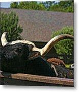 Begging Cow Metal Print