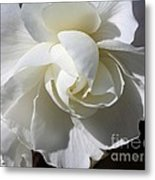 Begonia Named Nonstop Apple Blossom Metal Print