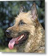Belgian Laekenois Dog Metal Print