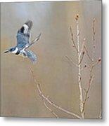 Belted Kingfisher 3 Metal Print