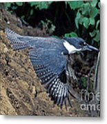 Belted Kingfisher Leaving Nest Metal Print