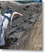 Belted Kingfisher With Prey Metal Print