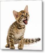 Bengal Kitten Metal Print