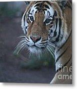 Bengal Tiger Metal Print by Brenda Schwartz