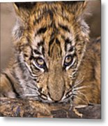 Bengal Tiger Cub And Peacock Feather Endangered Species Wildlife Rescue Metal Print