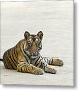 Bengal Tiger Cub On Road Bandhavgarh Np Metal Print