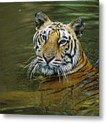 Bengal Tiger In Water Native To India Metal Print