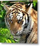 Bengal Tiger Portrait Metal Print
