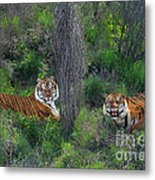 Bengal Tigers On Grassy Hillside Endangered Species Wildlife Rescue Metal Print