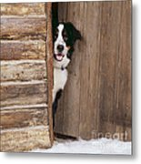 Bernese Mountain Dog At Log Cabin Door Metal Print