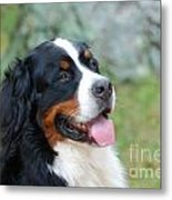 Bernese Mountain Dog Portrait Metal Print