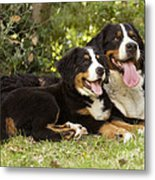 Bernese Mountain Dogs Metal Print