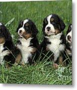 Bernese Mountain Puppies Metal Print