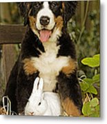 Bernese Mountain Puppy And Rabbit Metal Print