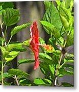 Best Close-up Green Hummingbird On Red Hibiscus Flower. Metal Print
