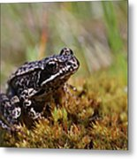 Beutiful Frog On The Moss Metal Print