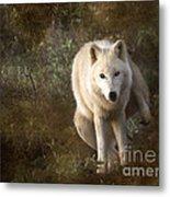 Big Bad Wolf Sprinkling The Grass Metal Print